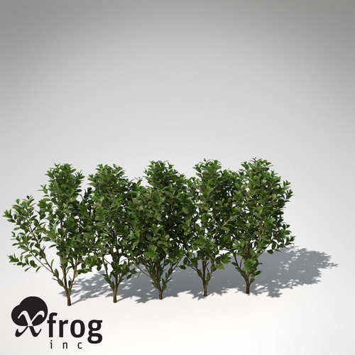 XfrogPlants Cherry Laurel3D model