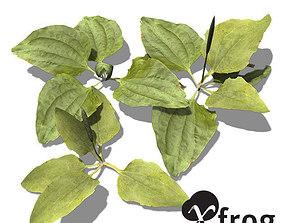 3D model XfrogPlants Common Plantain