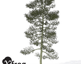 3D model XfrogPlants Bishop Pine