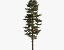scots pine nature 3D model
