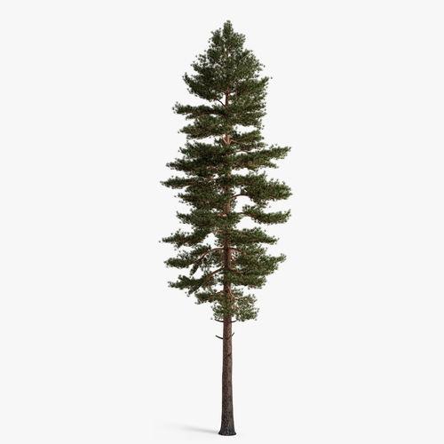 scots pine 3d model max obj fbx 1