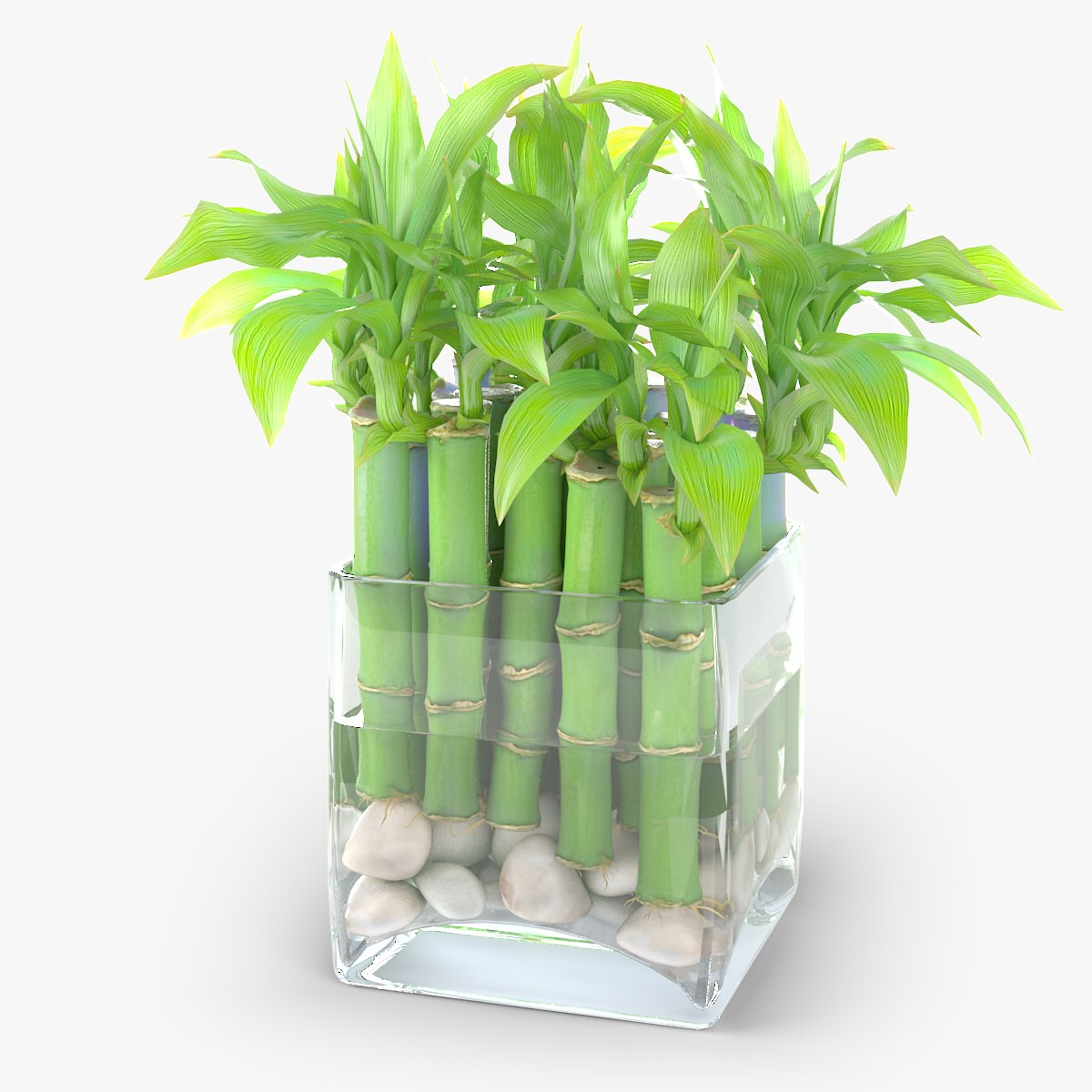 Lucky Bamboo Care Growing Lucky Bamboo Indoors