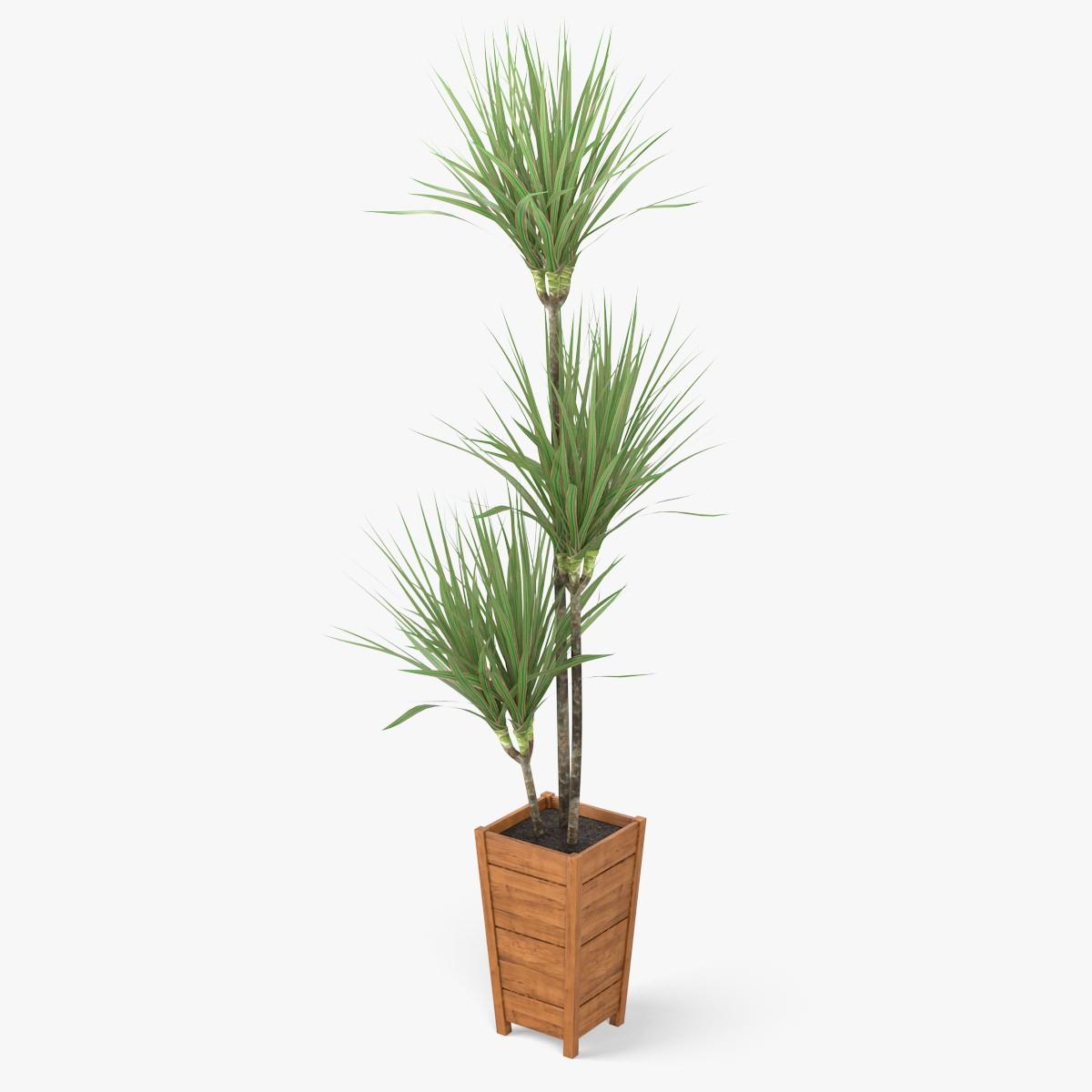 dracaena marginata plant 3d model max obj fbx c4d. Black Bedroom Furniture Sets. Home Design Ideas