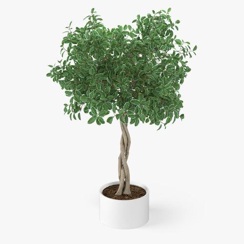 Ficus Plant3D model