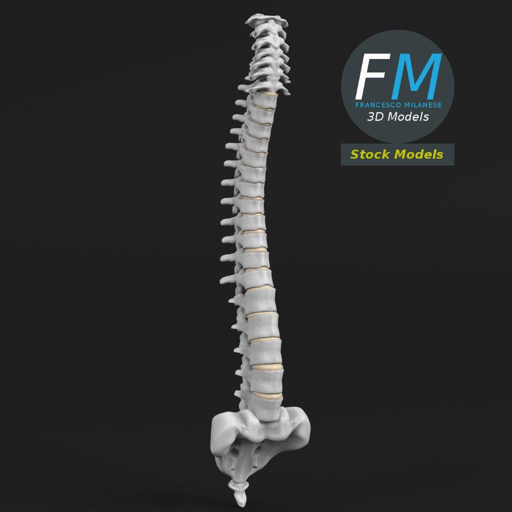 Anatomy - Human spine 2