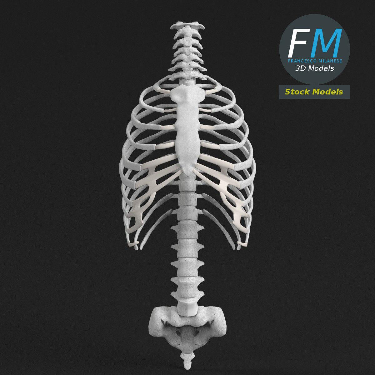 Anatomy Human spine torso and rib cage