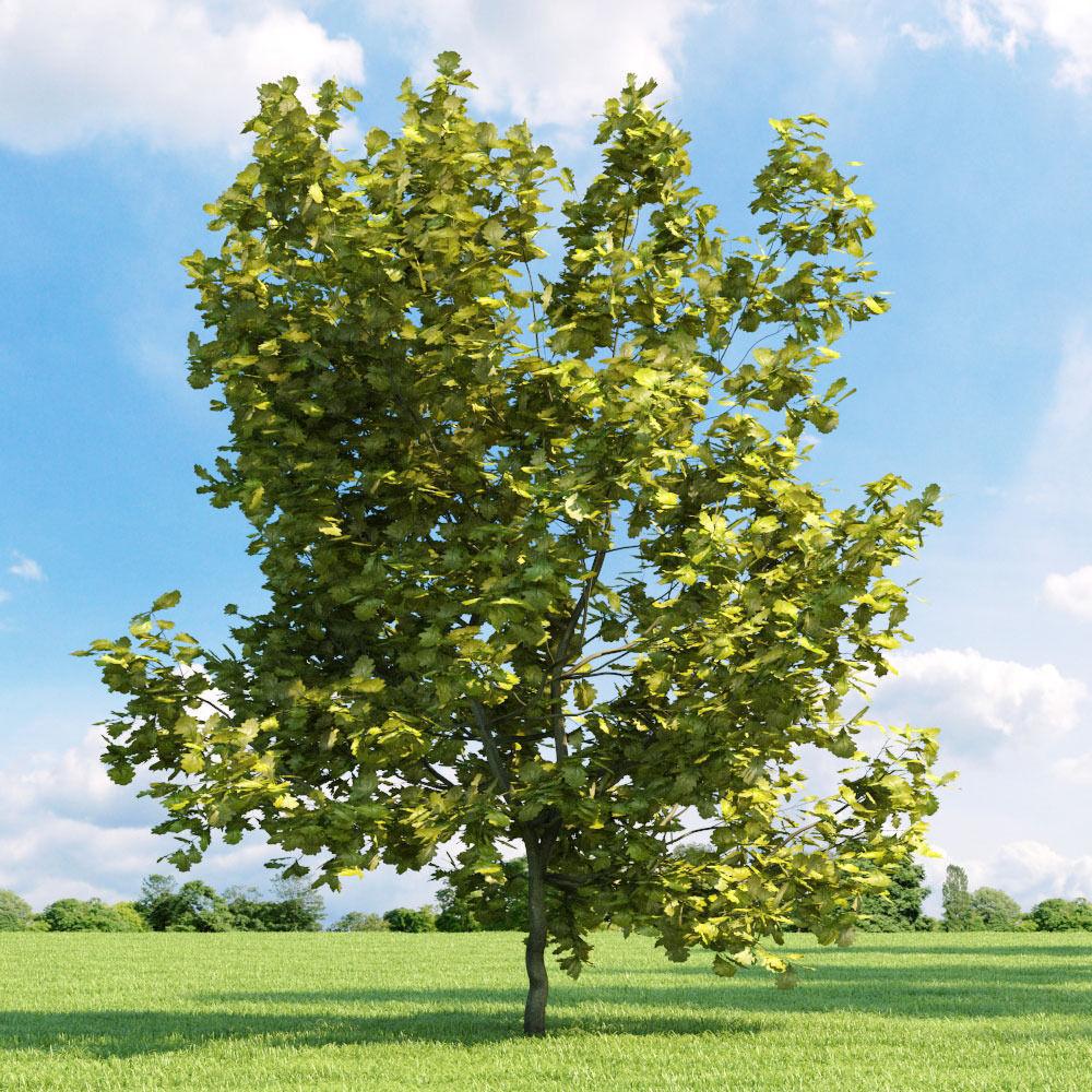 Quercus robur Concordia 033 v2 AM136