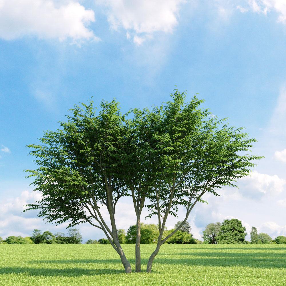 Caragana arborescens 009 v1 AM136