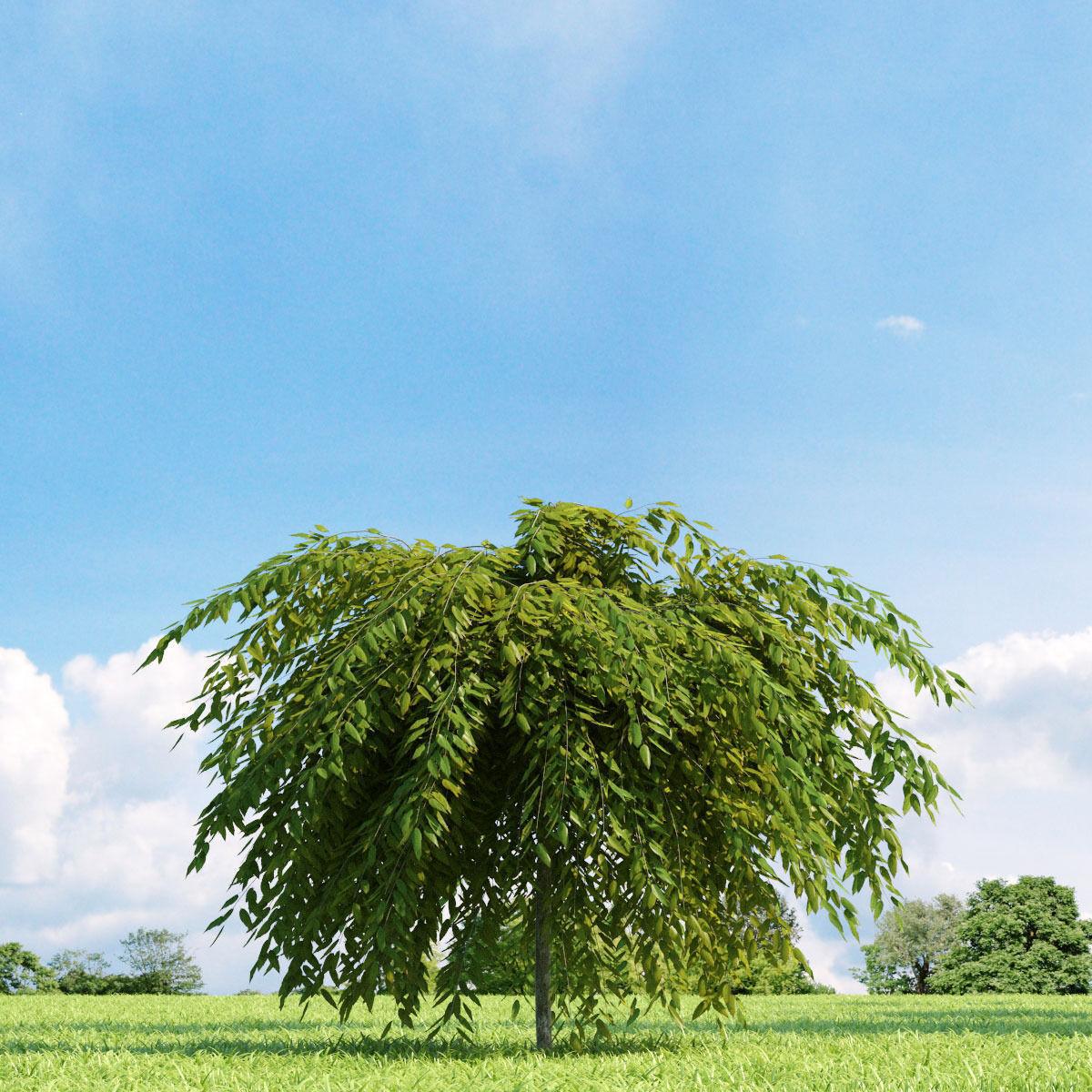 Salix repens var nitida 022 v3 AM136