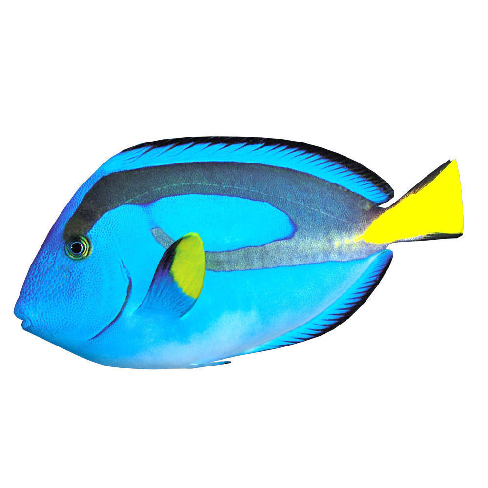 blue tang 3d model max obj fbx
