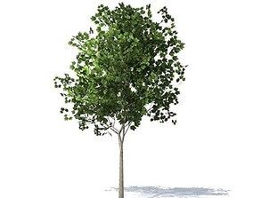 maple tree bark 3D