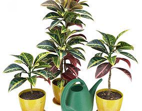 Codiaeum Croton plants 3D