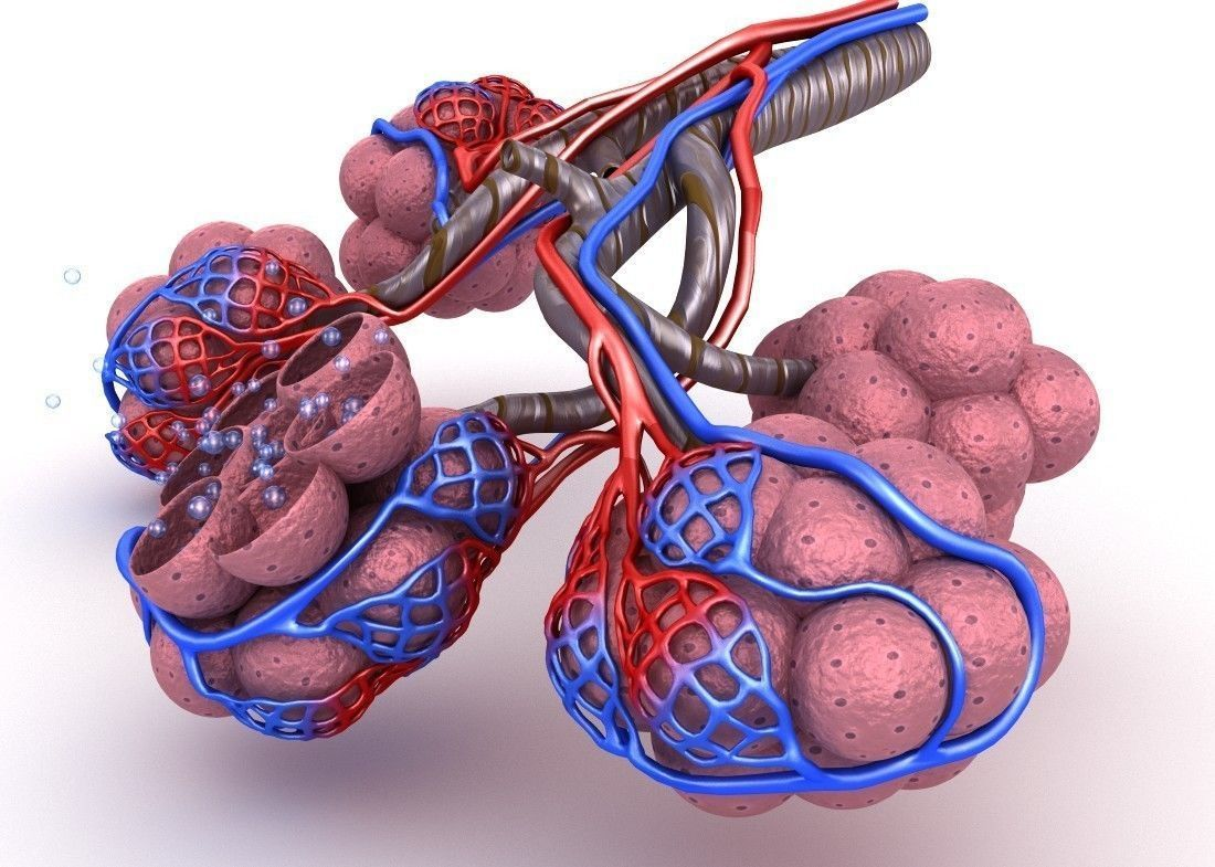 3D model Alveoli in lungs - blood saturating by oxygen