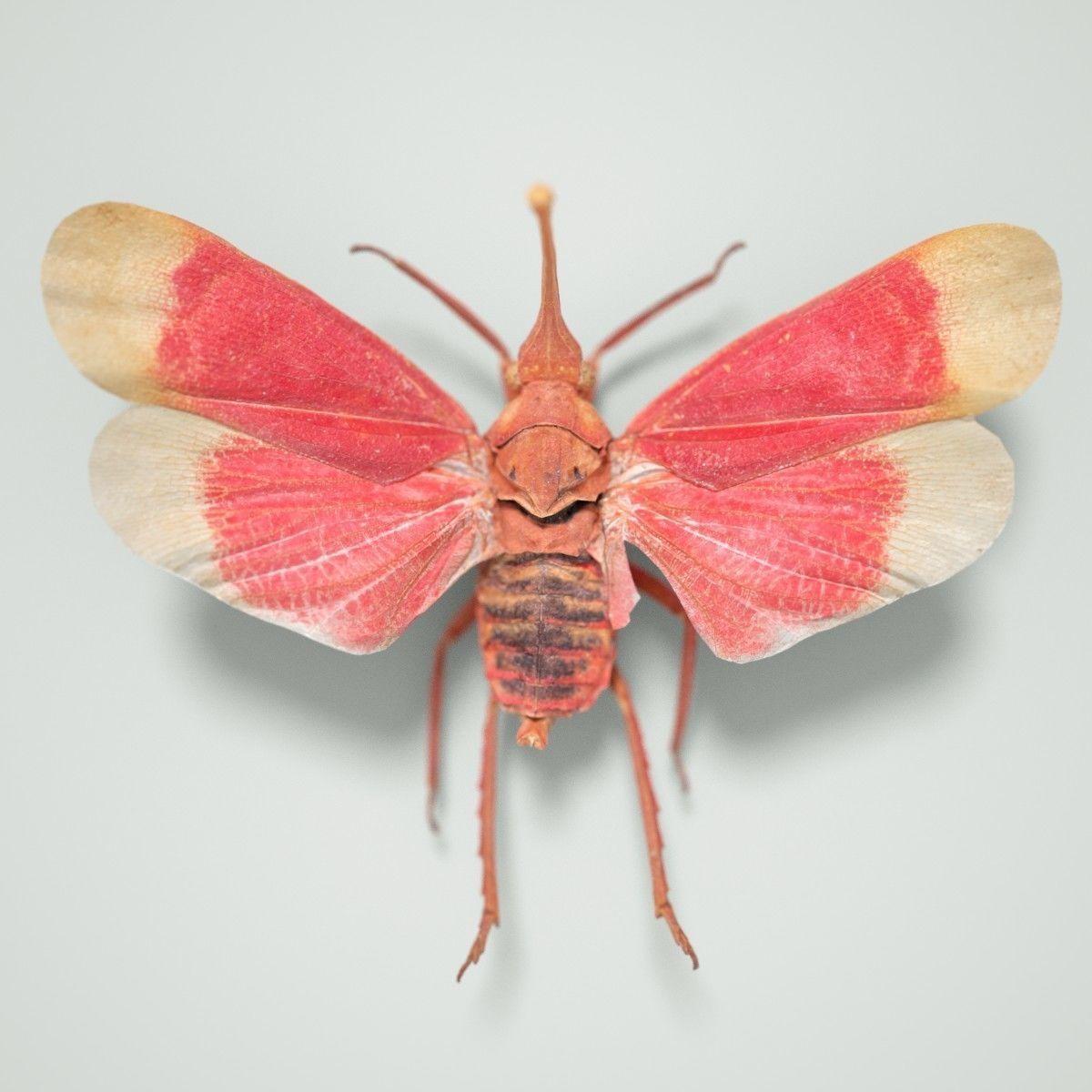 Cicada Pyrops Hamdjahi Peleng Insect