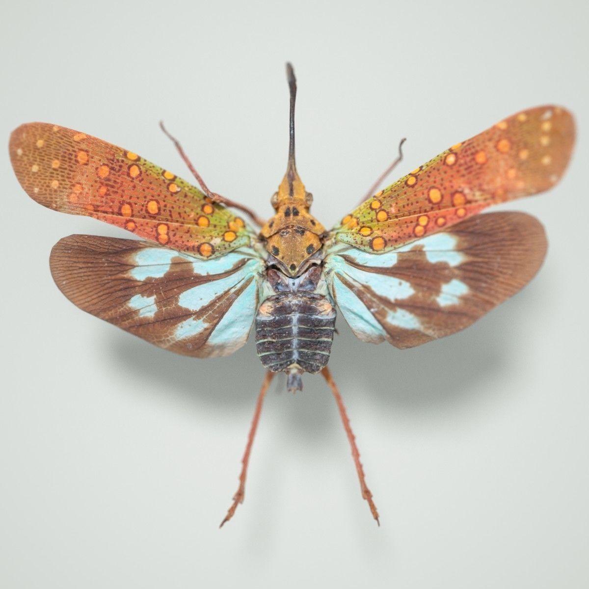 Cicada Saiva Gemmata Laos Insect