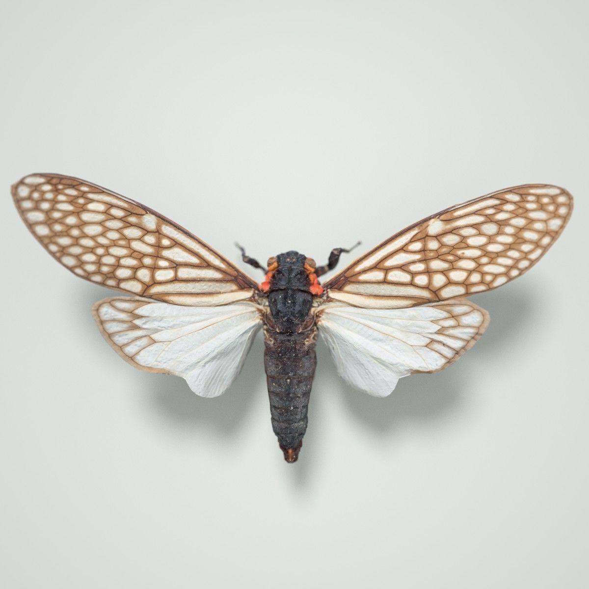 Cicada Ambragaena Palatinus China Insect