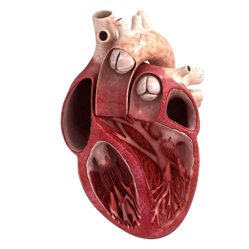 human heart sector 3d model max obj mtl tga 1