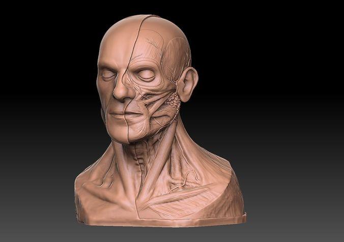 human head artistic anatomy  3d model obj mtl stl 1