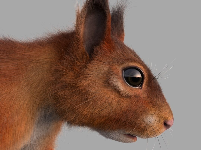 squirrel  3d model obj c4d abc 1