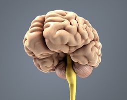 Brain 3D model game-ready