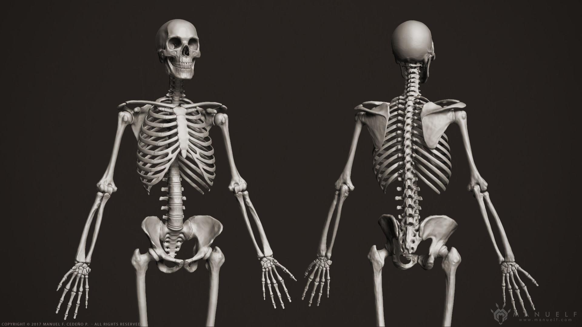 3D Human Skeleton skeletal | CGTrader