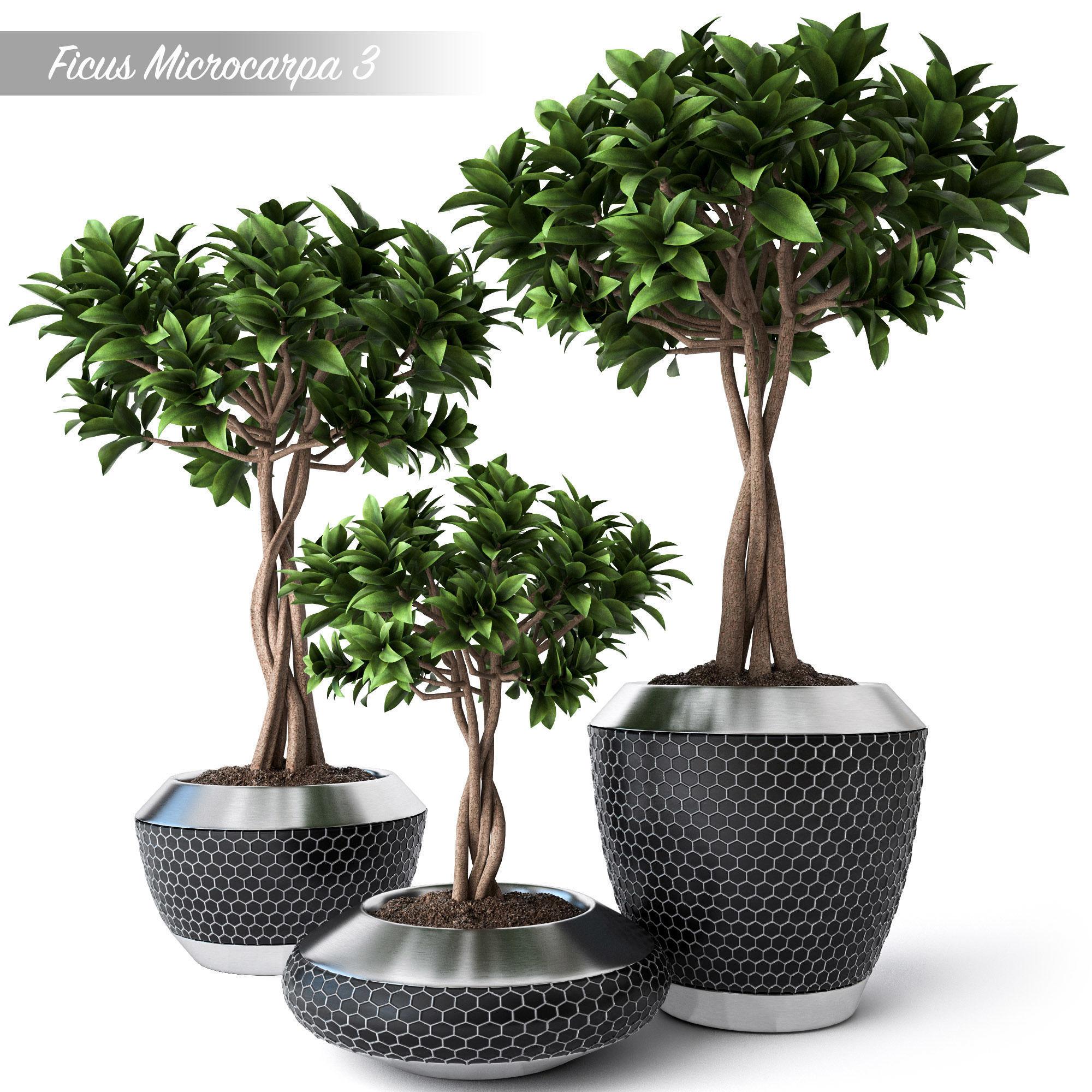 Ficus Microcarpa 3
