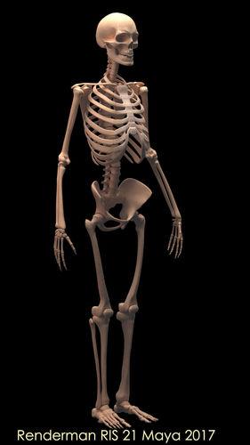 human skeleton 3d model rigged obj mtl fbx ma mb tga 1