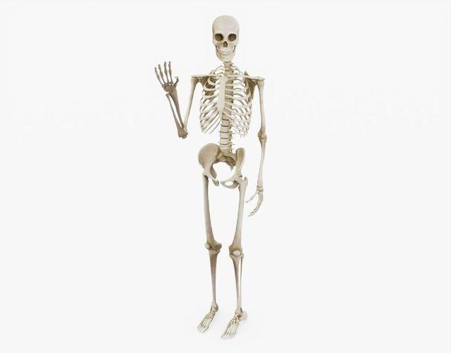 human skeleton rigged 3d model obj mtl 3ds fbx stl dae 1