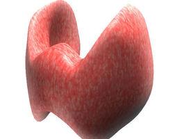 human thyroid gland 3D Model