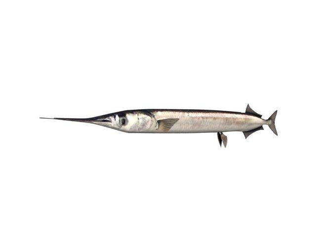 garfish sea needle fish belone belone 3d model max obj mtl 3ds fbx c4d lwo lw lws 1