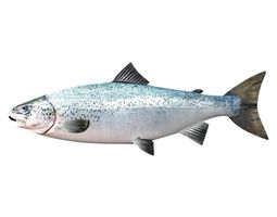 salmon fish white 3d model