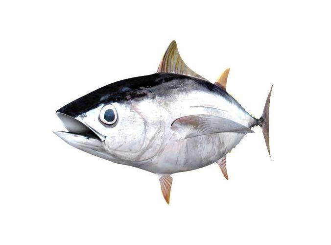 albacore tuna fish thunnus alalunga 3d model max obj mtl 3ds fbx c4d lwo lw lws 1
