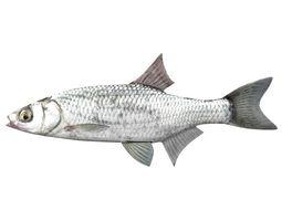 Bleak Ablet Fish Alburnus Alburnus 3D