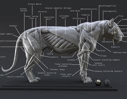 ecorche 3D Lion Ecorche - Model Muscles Study -