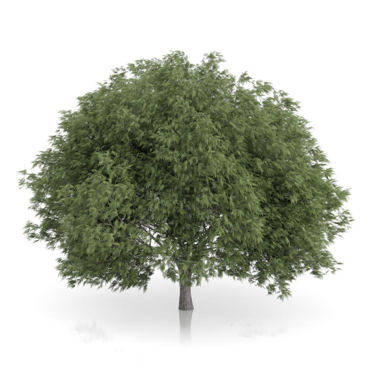 Crack Willow Tree Salix fragilis