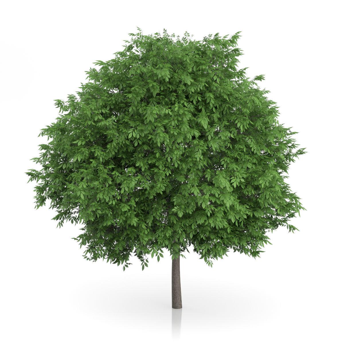 Common Walnut Tree Juglans regia