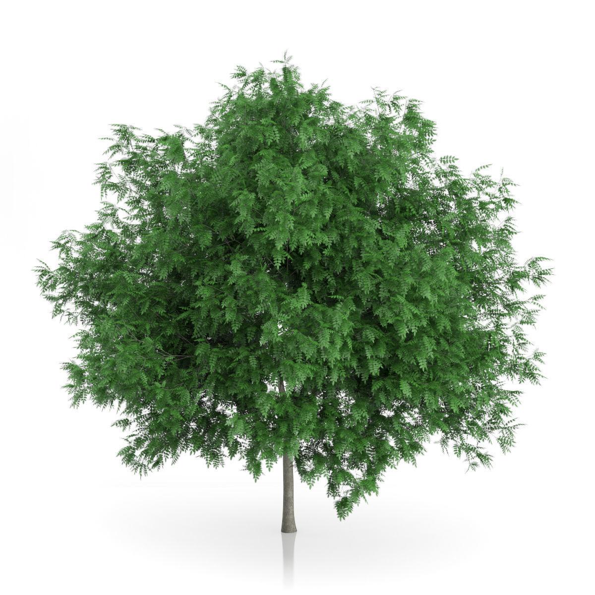 Rowan Tree Sorbus aucuparia