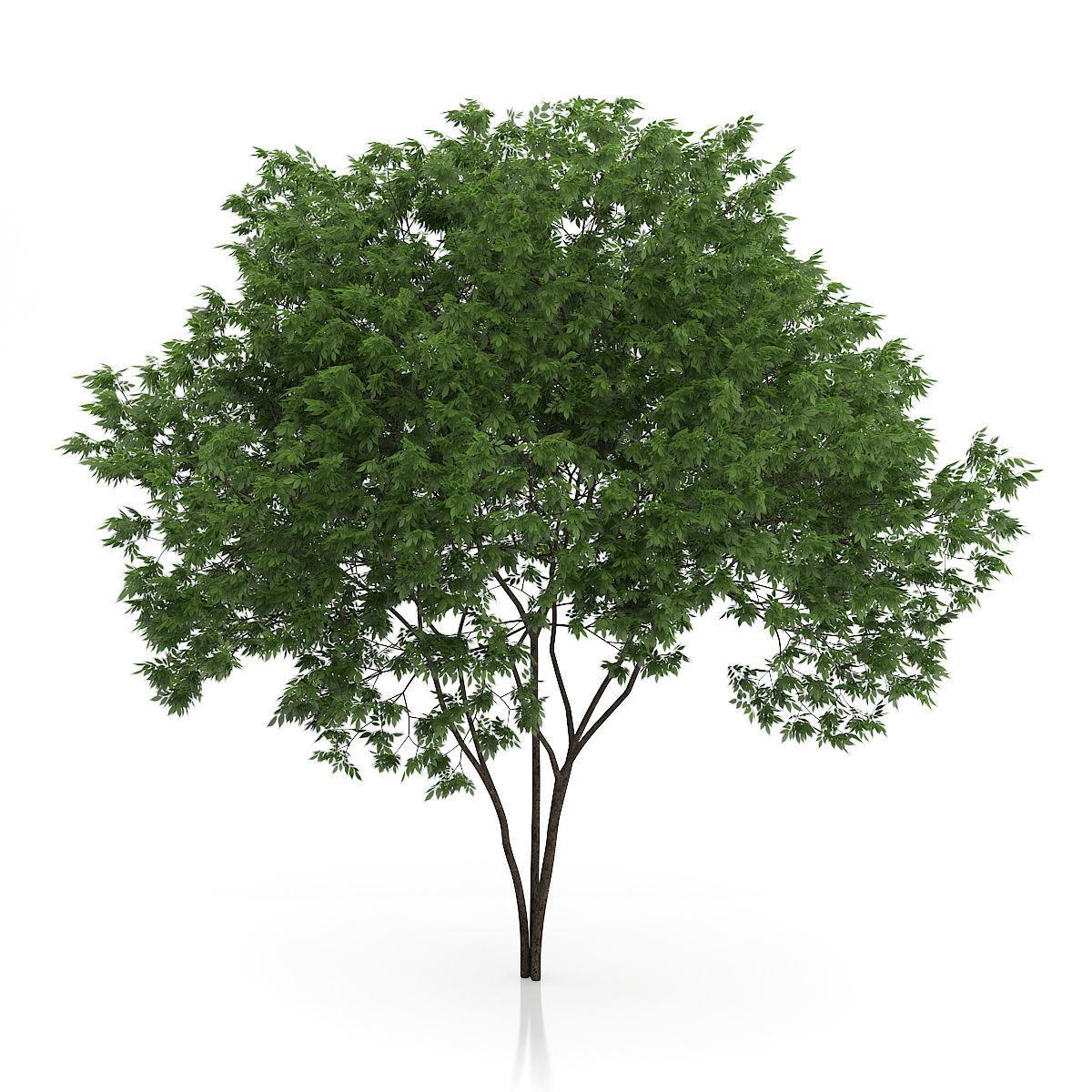 Elderberry Tree Sambucus nigra