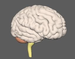realtime Human Brain 3D model Nervous