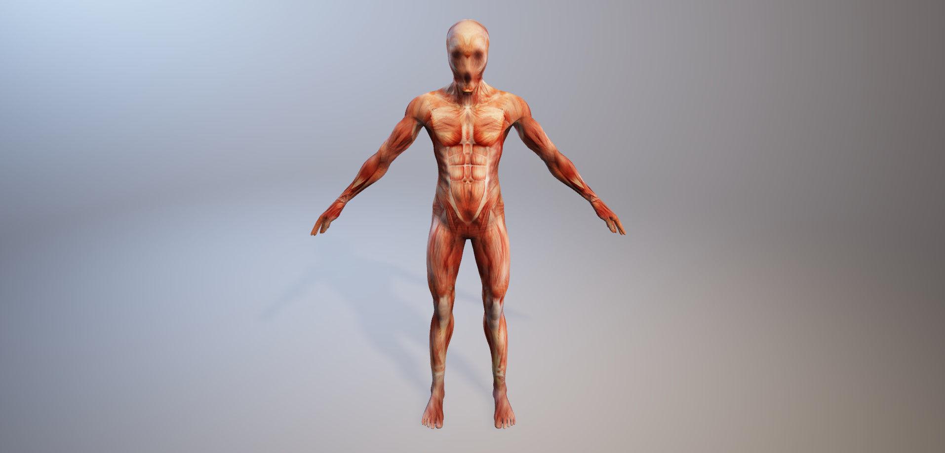 Großartig 3d Anatomiemodelle Ideen - Physiologie Von Menschlichen ...