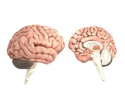 3D asset Human Brain