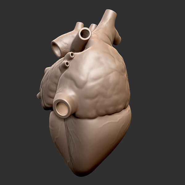 Printable Accurate Human Heart 3D Model 3D Printable .obj