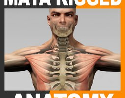 maya rigged human male body muscular system and skeleton 3d model ma mb