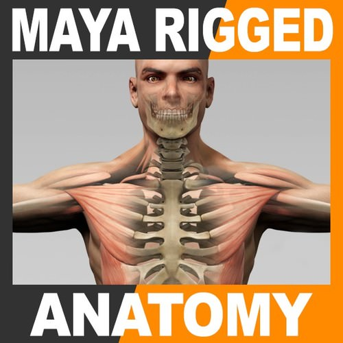 Maya Rigged Human Male Body Muscular Syste...3D model