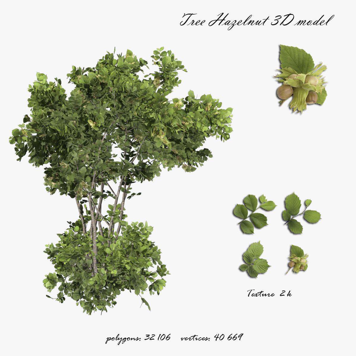 Tree Hazelnut
