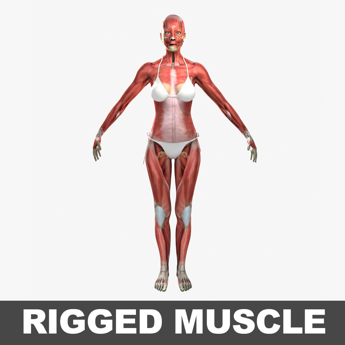 3D Detailed Full Female Muscle Anatomy Rigged | CGTrader