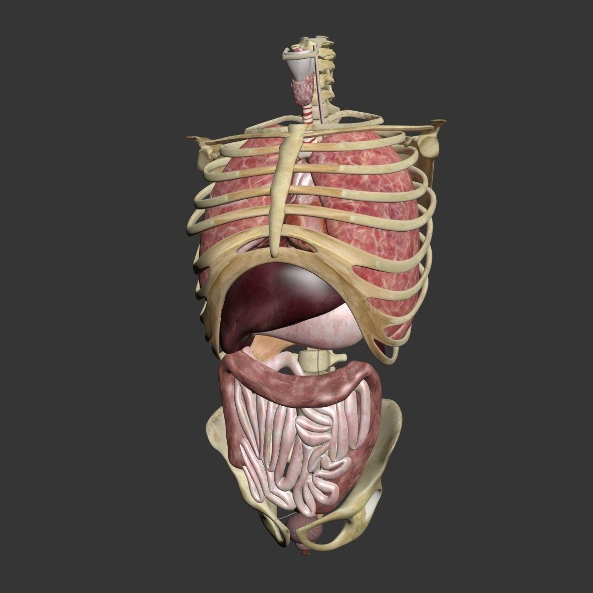 3D model Torso Anatomy | CGTrader