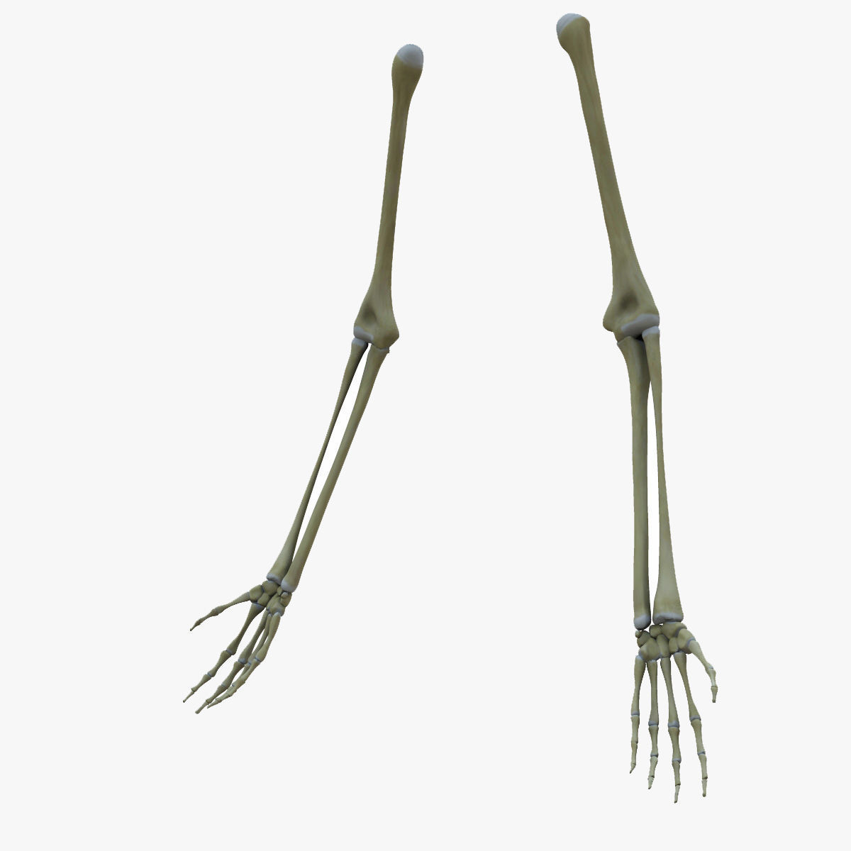 Human Arm Bones Skeleton