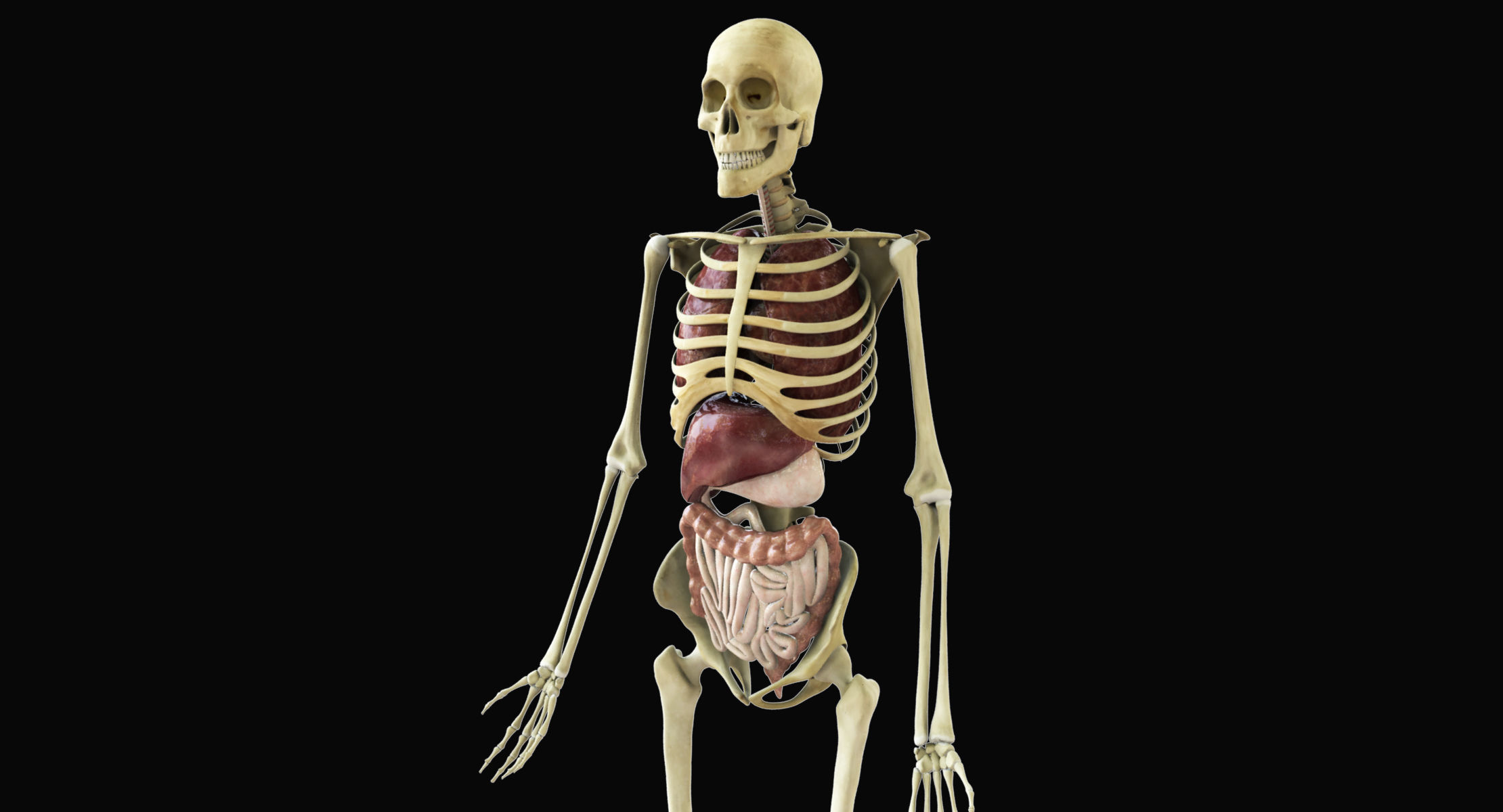 Human Skeleton With Digestive and Respiratory Systems