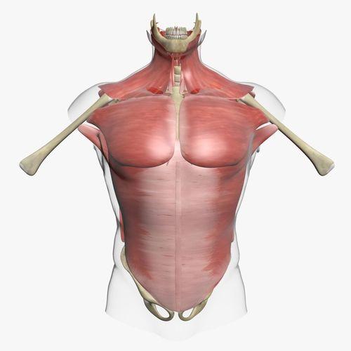 Human Torso Muscle Anatomy 3DSmax | CGTrader